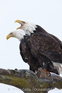 Bald eagle vocalizing, calling, with open beak while on wooden perch, Haliaeetus leucocephalus, Haliaeetus leucocephalus washingtoniensis, Kachemak Bay, Homer, Alaska