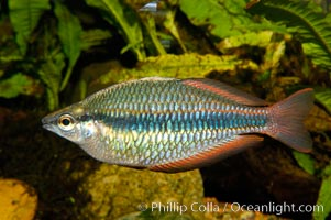 Banded rainbowfish, native to rivers of southern China to Vietnam, Melanotaenia trifasciata