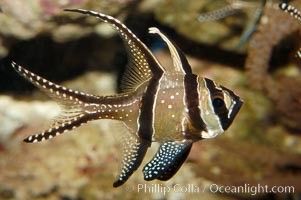 Banggai Cardinalfish.  Once thought to be found at Banggai Island near Sulawesi, Indonesia, it has recently been found at Lembeh Strait and elsewhere.  The male incubates the egg mass in his mouth, then shelters a brood of 10-15 babies in his mouth after they hatch, the only fish known to exhibit this behaviour.  Unfortunately, the aquarium trade is threatening the survival of this species in the wild., Pterapogon kauderni, natural history stock photograph, photo id 08900