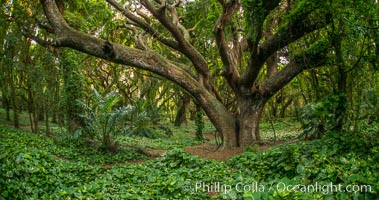 Banyon Trees at Honolua Bay, West Maui, Hawaii. USA, natural history stock photograph, photo id 34528