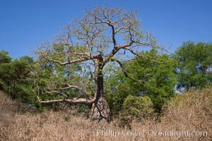 Baobab Tree, Meru National Park, Kenya. Meru National Park, Kenya, Adansonia digitata, natural history stock photograph, photo id 29661