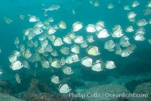 Barberfish schooling, Johnrandallia nigrirostris, North Seymour Island
