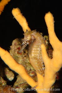 Barbours seahorse., Hippocampus barbouri, natural history stock photograph, photo id 08697