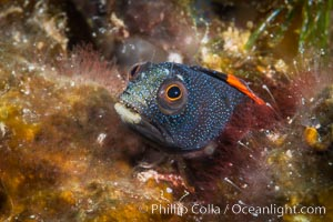 Barnacle blenny, Acanthemblemaria macrospilus, Sea of Cortez. Isla Espiritu Santo, Baja California, Mexico, natural history stock photograph, photo id 33783