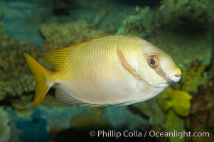 Barred spinefoot rabbitfish, daytime coloration., Siganus doliatus, natural history stock photograph, photo id 12942