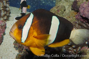 Barrier reef anemonefish., Amphiprion akindynos, natural history stock photograph, photo id 08824