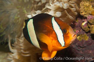 Barrier reef anemonefish., Amphiprion akindynos, natural history stock photograph, photo id 12912