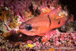 Barspot Cardinalfish, Apogon retrosell, Sea of Cortez, Isla Espiritu Santo, Baja California, Mexico