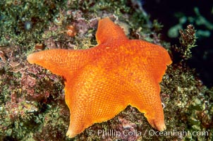 Bat star, Asterina miniata