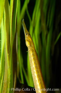 Bay pipefish hiding in algae, Syngnathus leptorhynchus