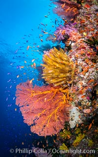 Beautiful Coral Reef Scene, Fiji, Gorgonacea, Vatu I Ra Passage, Bligh Waters, Viti Levu Island