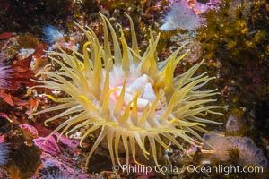 Beautiful Anemone on Rocky Reef near Vancouver Island, Queen Charlotte Strait, Browning Pass, Canada. British Columbia, Canada, natural history stock photograph, photo id 34361