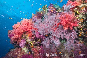 Beautiful tropical reef in Fiji. The reef is covered with dendronephthya soft corals and sea fan gorgonians, with schooling Anthias fishes swimming against a strong current, Dendronephthya, Pseudanthias, Gorgonacea, Namena Marine Reserve, Namena Island