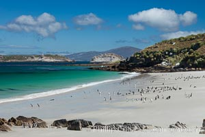 Beautiful white sand beach, on the southern tip of Carcass Island, with gentoo and Magellanic penguins coming and going to sea. Carcass Island, Falkland Islands, United Kingdom, natural history stock photograph, photo id 23985