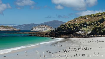 Beautiful white sand beach, on the southern tip of Carcass Island, with gentoo and Magellanic penguins coming and going to sea