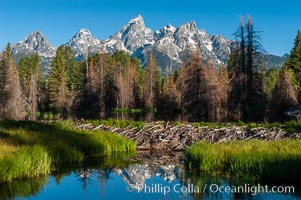 A beaver dam floods a sidewater of the Snake River, creating a pond near Schwabacher Landing. Schwabacher Landing, Grand Teton National Park, Wyoming, USA, Castor canadensis, natural history stock photograph, photo id 07340