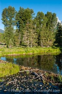 A beaver dam floods a sidewater of the Snake River, creating a pond near Schwabacher Landing, Castor canadensis, Grand Teton National Park, Wyoming