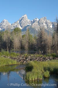 A beaver dam across a sidwater of the Snake River with the Teton Range seen behind, Castor canadensis, Schwabacher Landing, Grand Teton National Park, Wyoming