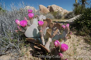 Image 09094, Beavertail cactus in springtime bloom. Joshua Tree National Park, California, USA, Opuntia basilaris, Phillip Colla, all rights reserved worldwide. Keywords: beavertail cactus, california, desert, environment, joshua tree, joshua tree national park, national park, national parks, nature, opuntia basilaris, outdoors, outside, usa.