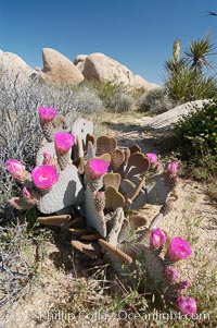 Beavertail cactus in springtime bloom, Opuntia basilaris, Joshua Tree National Park, California