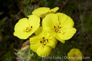 Bermuda buttercup, Batiquitos Lagoon, Carlsbad. California, USA, Oxalis pes-caprae, natural history stock photograph, photo id 11291