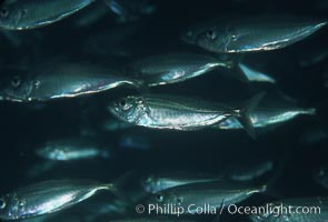 Bigeye scad, schooling. Sea of Cortez, La Paz, Baja California, Mexico, Selar crumenophthalmus, natural history stock photograph, photo id 04784