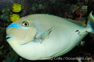 Big-nosed unicornfish., Naso vlamingii, natural history stock photograph, photo id 08686