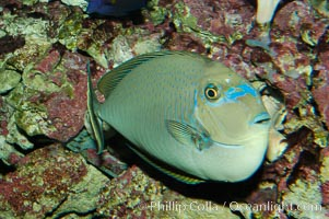 Big-nosed unicornfish., Naso vlamingii, natural history stock photograph, photo id 08687