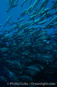 Horse-eyed jacks, Las Animas, Sea of Cortez., Caranx sexfasciatus, natural history stock photograph, photo id 02751