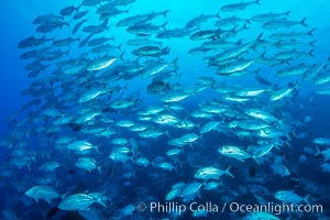 Bigeye Trevally Jacks, Schooling, Fiji, Nigali Passage, Gau Island, Lomaiviti Archipelago
