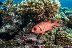 Bigscale Soldierfish, Myripristis berndti, Fiji, Wakaya Island, Lomaiviti Archipelago