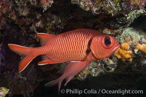 Bigscale Soldierfish, Myripristis berndti, Fiji. Makogai Island, Lomaiviti Archipelago, Fiji, natural history stock photograph, photo id 31780
