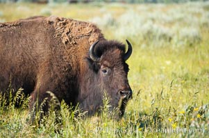 Bison. Grand Teton National Park, Wyoming, USA, Bison bison, natural history stock photograph, photo id 13009