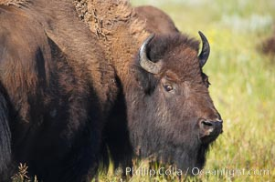 Bison, Bison bison, Grand Teton National Park, Wyoming