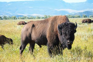 Bison. Grand Teton National Park, Wyoming, USA, Bison bison, natural history stock photograph, photo id 13011