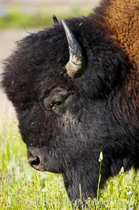 The bisons massive head is its most characteristic feature. Its forehead bulges because of its convex-shaped frontal bone. Its shoulder hump, dwindling bowlike to the haunches, is supported by unusually long spinal vertebrae. Over powerful neck and shoulder muscles grows a great shaggy coat of curly brown fur, and over the head, like an immense hood, grows a shock of black hair. Its forequarters are higher and much heavier than its haunches. A mature bull stands about 6 1/2 feet (2 meters) at the shoulder and weighs more than 2,000 pounds (900 kilograms). The bisons horns are short and black. In the male they are thick at the base and taper abruptly to sharp points as they curve outward and upward; the females horns are more slender. Yellowstone National Park, Wyoming, USA, Bison bison, natural history stock photograph, photo id 13120