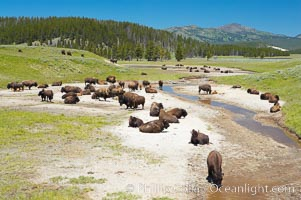 Bison rest in a dry stream bed. Hayden Valley, Yellowstone National Park, Wyoming, USA, Bison bison, natural history stock photograph, photo id 13128