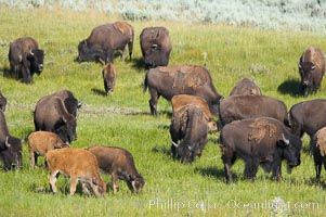 The Lamar herd of bison grazes, a mix of mature adults and young calves. Lamar Valley, Yellowstone National Park, Wyoming, USA, Bison bison, natural history stock photograph, photo id 13132