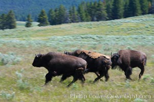 Juvenile bison running, Bison bison, Hayden Valley, Yellowstone National Park, Wyoming