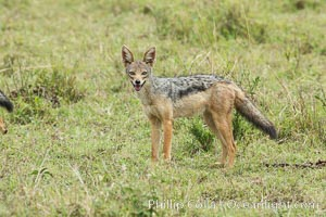 Black-backed jackal, Maasai Mara, Kenya. Maasai Mara National Reserve, Kenya, Canis mesomelas, natural history stock photograph, photo id 29849