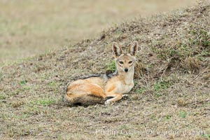 Black-backed jackal, Maasai Mara, Kenya. Olare Orok Conservancy, Kenya, Canis mesomelas, natural history stock photograph, photo id 29992