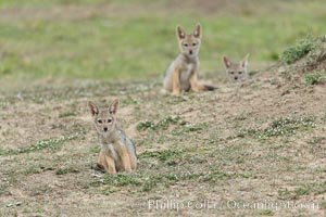 Black-backed jackal pups, Maasai Mara, Kenya. Olare Orok Conservancy, Canis mesomelas, natural history stock photograph, photo id 29991
