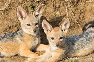 Black-backed jackal pups, Maasai Mara, Kenya. Olare Orok Conservancy, Kenya, Canis mesomelas, natural history stock photograph, photo id 30071