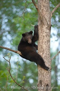 Image 18842, Black bear in a tree.  Black bears are expert tree climbers and will ascend trees if they sense danger or the approach of larger bears, to seek a place to rest, or to get a view of their surroundings. Orr, Minnesota, USA, Ursus americanus
