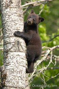 Black bear cub in a tree.  Mother bears will often send their cubs up into the safety of a tree if larger bears (who might seek to injure the cubs) are nearby.  Black bears have sharp claws and, in spite of their size, are expert tree climbers. Orr, Minnesota, USA, Ursus americanus, natural history stock photograph, photo id 18868