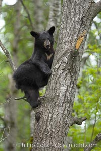 Black bear in a tree.  Black bears are expert tree climbers and will ascend trees if they sense danger or the approach of larger bears, to seek a place to rest, or to get a view of their surroundings. Orr, Minnesota, USA, Ursus americanus, natural history stock photograph, photo id 18874