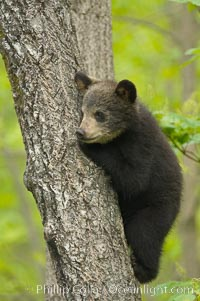 Black bear cub in a tree.  Mother bears will often send their cubs up into the safety of a tree if larger bears (who might seek to injure the cubs) are nearby.  Black bears have sharp claws and, in spite of their size, are expert tree climbers. Orr, Minnesota, USA, Ursus americanus, natural history stock photograph, photo id 18876