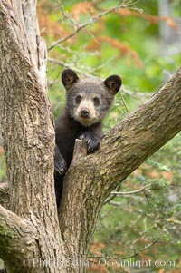 Black bear cub in a tree.  Mother bears will often send their cubs up into the safety of a tree if larger bears (who might seek to injure the cubs) are nearby.  Black bears have sharp claws and, in spite of their size, are expert tree climbers. Orr, Minnesota, USA, Ursus americanus, natural history stock photograph, photo id 18891