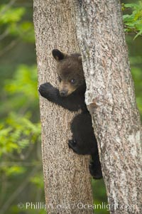 Black bear cub in a tree.  Mother bears will often send their cubs up into the safety of a tree if larger bears (who might seek to injure the cubs) are nearby.  Black bears have sharp claws and, in spite of their size, are expert tree climbers, Ursus americanus, Orr, Minnesota