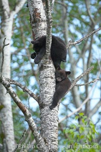 Image 18956, Black bear cub in a tree.  Mother bears will often send their cubs up into the safety of a tree if larger bears (who might seek to injure the cubs) are nearby.  Black bears have sharp claws and, in spite of their size, are expert tree climbers. Orr, Minnesota, USA, Ursus americanus